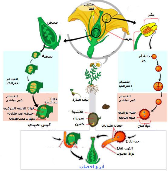 التوالد الجنسي عند النباتات الزهرية Angiospermcycl