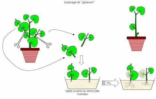 التوالد عند النباتات Bouturage-545x347