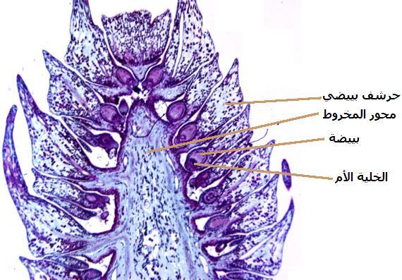 التوالد عند النباتات Female%20pine%20cone