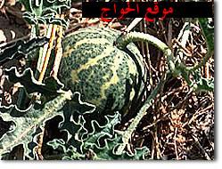 ملف الآعشاب ( كامل ) - صفحة 2 Colocynth