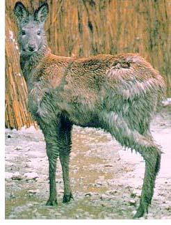 ملف الآعشاب ( كامل ) - صفحة 4 Siberian_musk_deer