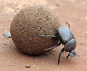 الطلاسم والرموز الشركية Dung-beetle