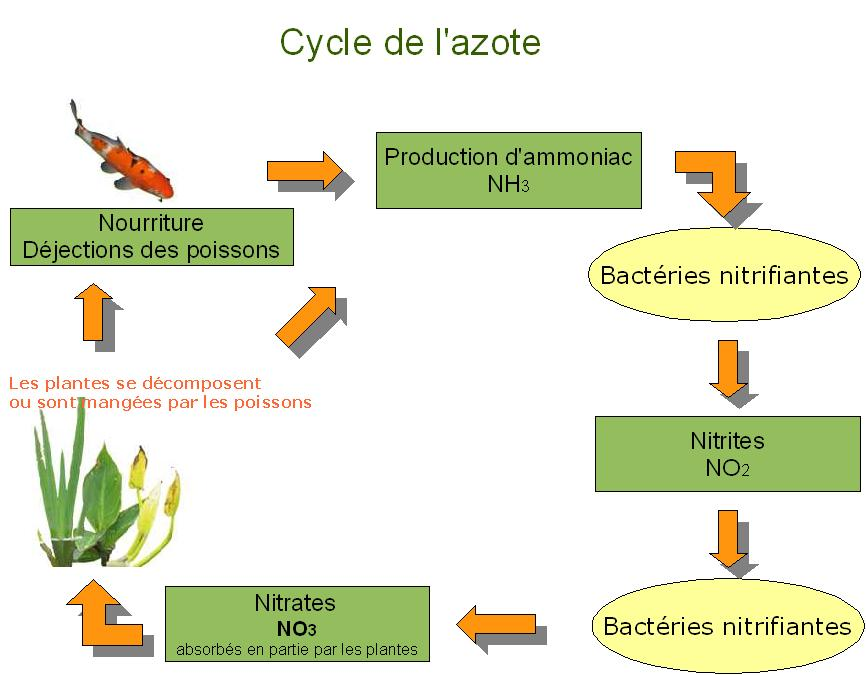 Tests de base indispensables Cycle-azote02