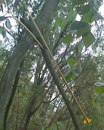 Paleo-legal compound Osuma50