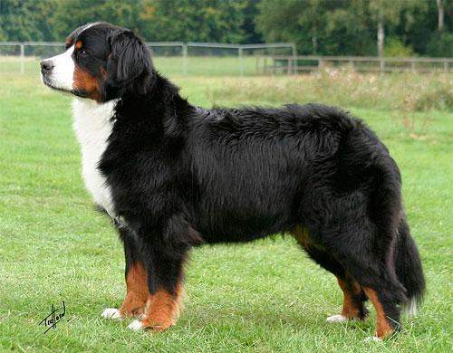 Любимая порода собак Bern