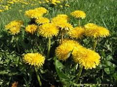 Liste de plantes pour les soins T_taraxacum_officinalis_1