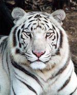 Tigrovi Bijelitigar
