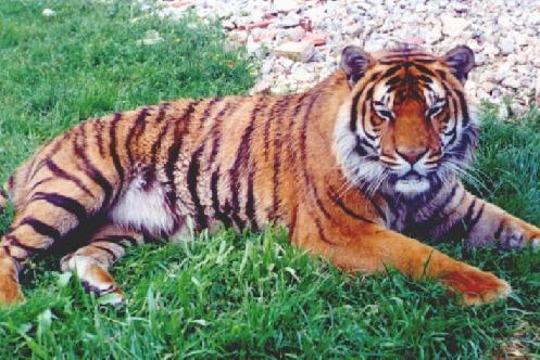 Mislite li da će tigrovi izumrijeti? Sviđaju vam se, plašite ih se? Tigar-h