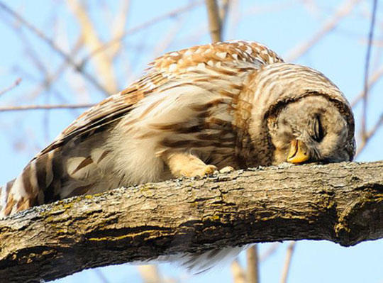 ما سبب التشائم من طائر البوم?! Funny_cute_owl_sleeping_tree.88341spu8hs0w4coocs0kk0w4.ae6egtt2xvk0sowk84g4ock8k.th