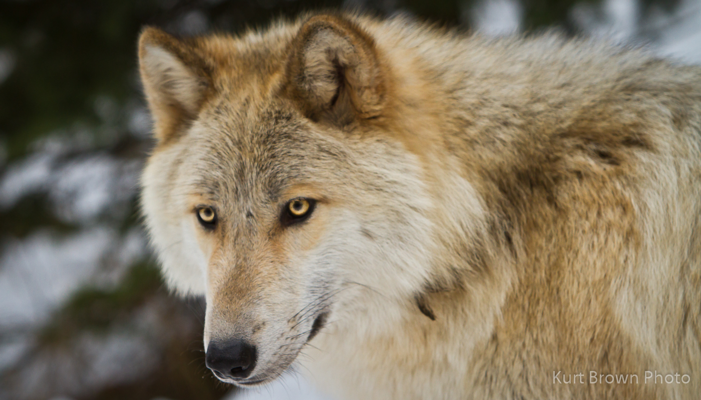 wolves - The Wolves of The Pack of Never Ending Winter - Please Adopt - Wolf-0459