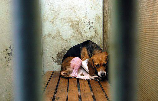 STOP vivisection Chien-labo