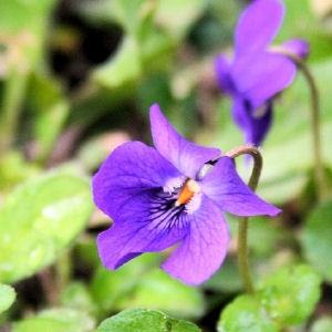 Dimanche 27 mars Violette-sucre-67d7