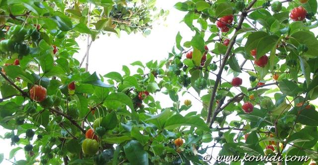 Plantation d'arbre fruitier  Cerisier