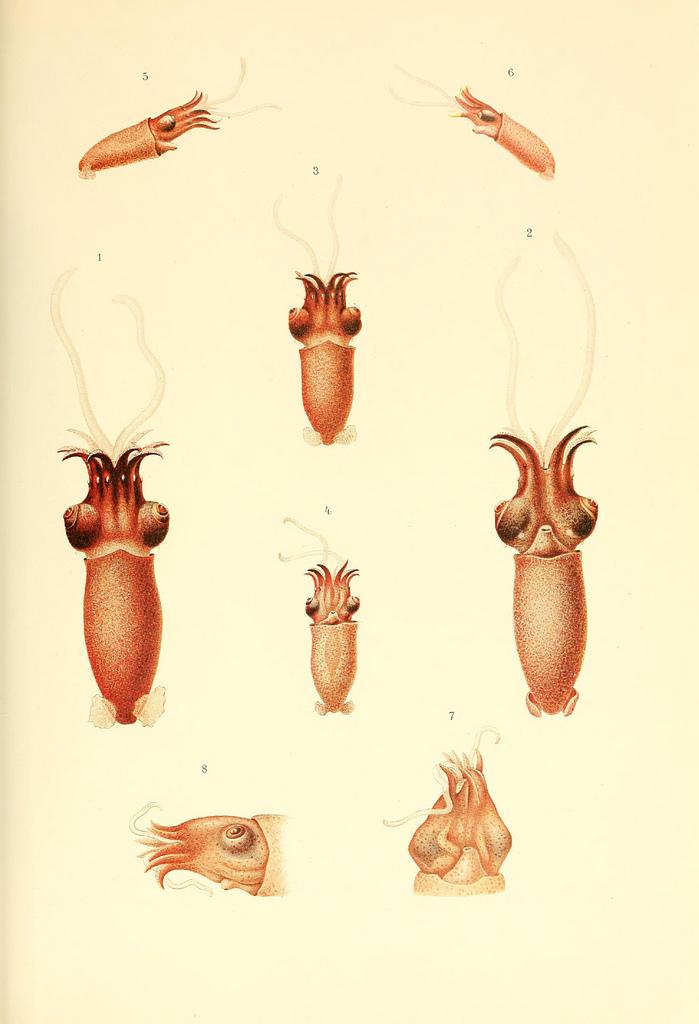 Poulpe fiction Dessin-illustration-poulpe-cephalopode-02