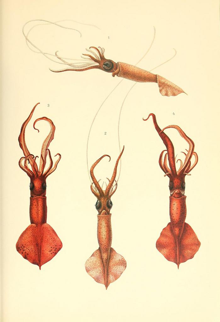 Poulpe fiction Dessin-illustration-poulpe-cephalopode-04