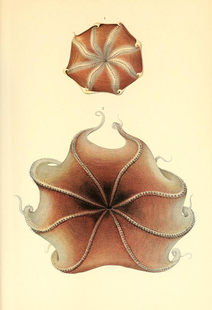 Poulpe fiction Dessin-illustration-poulpe-cephalopode-10