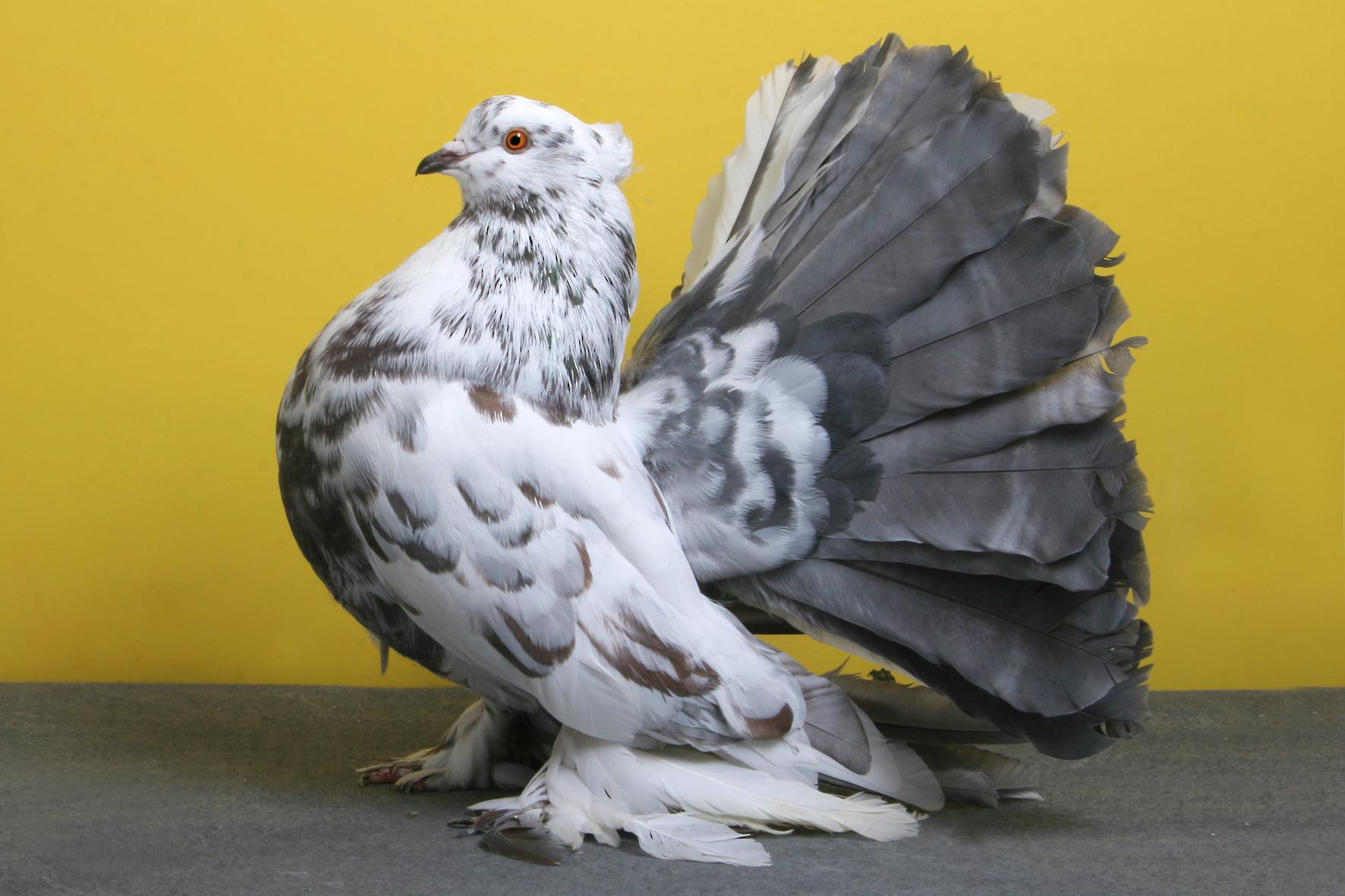 Et si la Snes mini devenait réalité Pigeon-concours-beaute-champion-oiseau-01