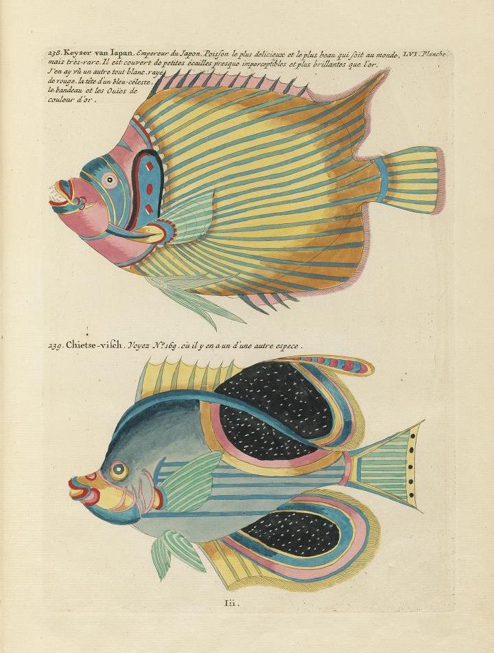 Des poissons tropicaux découverts en 1719 Poissons-tropicaux-04