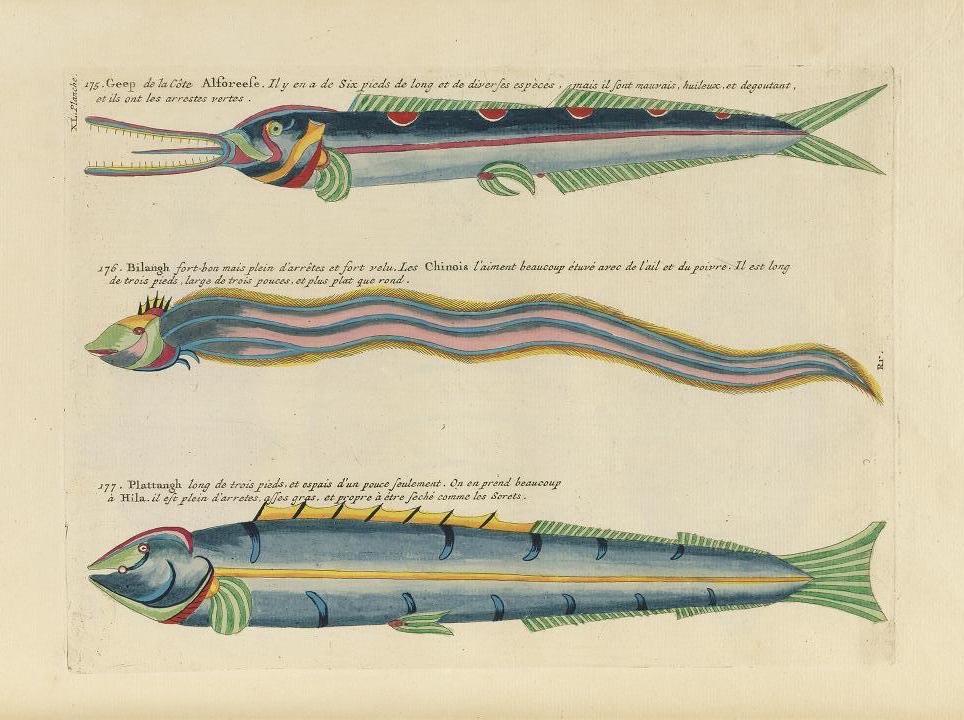Des poissons tropicaux découverts en 1719 Poissons-tropicaux-05