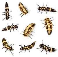 Identify a new bug Ladybug_larvae