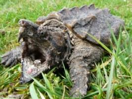l'animal de Martin du 5 janvier trouvé par Martine Macroclemys-temminckii
