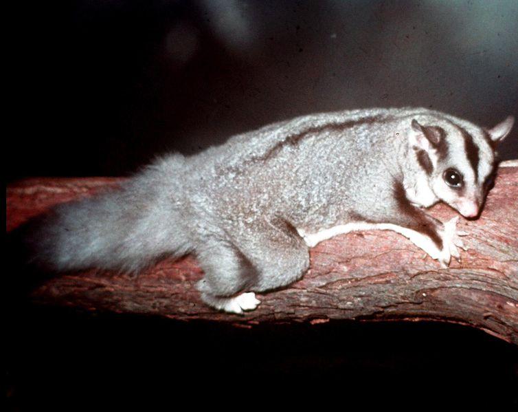 un animal - Ajonc - 16 octobre trouvé par Sylvie - Page 2 Phalangier-de-Norfolk