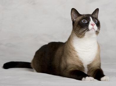 Raza de gatos:Los maravillosos Snowshoe Raza-gato-snowshoe