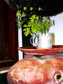 culantrillo de pozo (Adiantum capillus-veneris) Bernegal