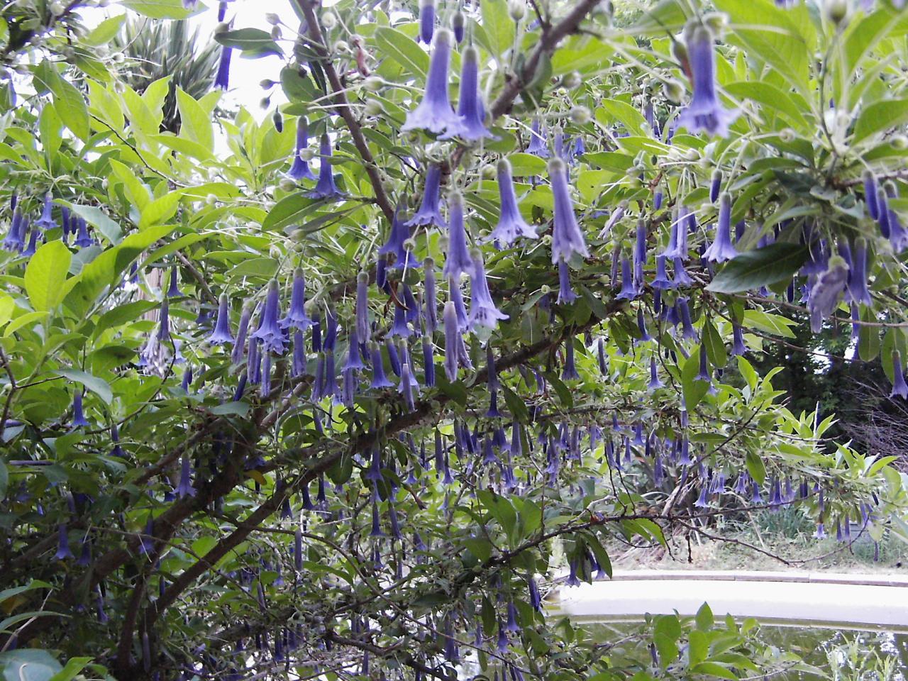 le genre iochroma : rusticité Acnistus-du-jardin-de-saubens-2