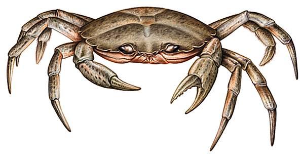 Description des Lieux et monstres présents 1001044-Crabe_enrag%C3%A9