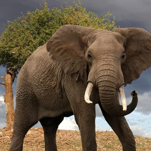 La belle histoire de l'Éléphant 1309507-El%C3%A9phant