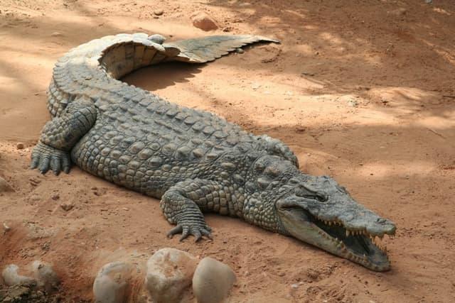[JdR] Oltrée ! Jezz'Iera 1309518-Crocodile