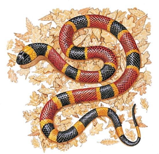 animal de Martin du 20 novembre trouvé par  Martine 1310642-Serpent_corail_Micrurus_fulvius