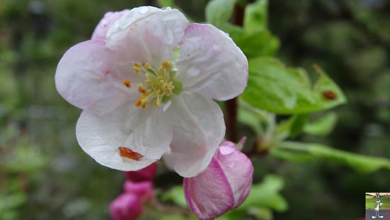 [39] : 2020-04-25 : Fleurs du matin à La Mainmorte 2020-04-25_fleurs_matin_01