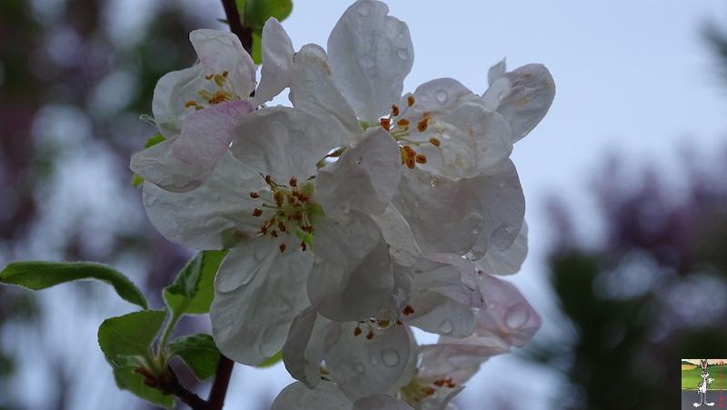 [39] : 2020-04-25 : Fleurs du matin à La Mainmorte 2020-04-25_fleurs_matin_02