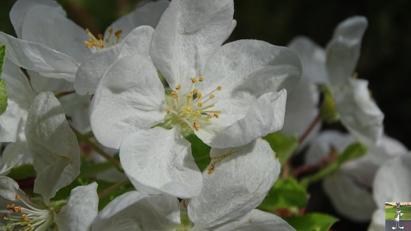 [39] : 2020-04-25 : Fleurs du matin à La Mainmorte 2020-04-25_fleurs_matin_03