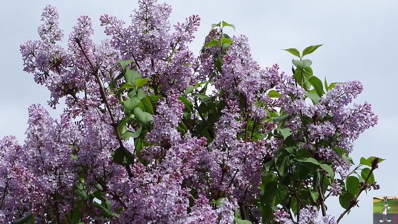 [39] : 2020-04-25 : Fleurs du matin à La Mainmorte 2020-04-25_fleurs_matin_04