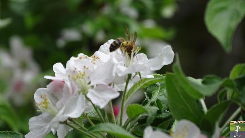 [39] : 2020-04-25 : Fleurs du matin à La Mainmorte 2020-04-25_fleurs_matin_06