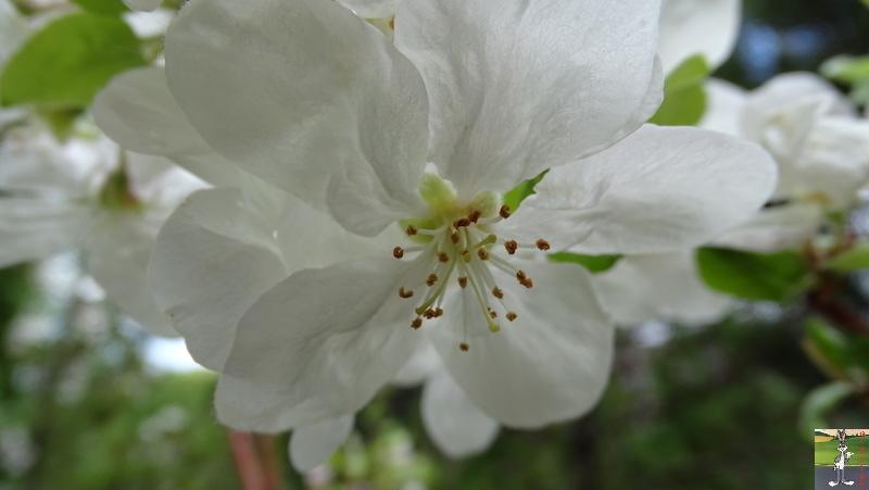 [39] : 2020-04-25 : Fleurs du matin à La Mainmorte 2020-04-25_fleurs_matin_07