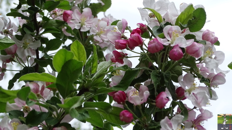 [39] : 2020-04-25 : Fleurs du matin à La Mainmorte 2020-04-25_fleurs_matin_08