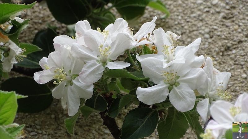[39] : 2020-04-25 : Fleurs du matin à La Mainmorte 2020-04-25_fleurs_matin_11