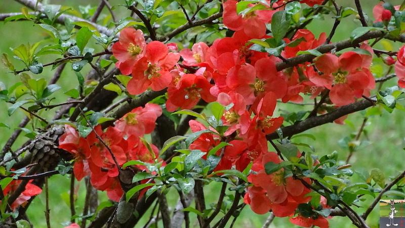 [39] : 2020-04-25 : Fleurs du matin à La Mainmorte 2020-04-25_fleurs_matin_13