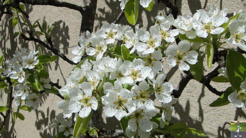 2011-04-10 : Poirier en fleur - La Mainmorte (39) 2011-04-10_poirier_01