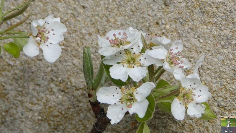 2012-04-08 : Neige sur fleurs à La Mainmorte (39) 2012-04-08_neige_fleurs_07