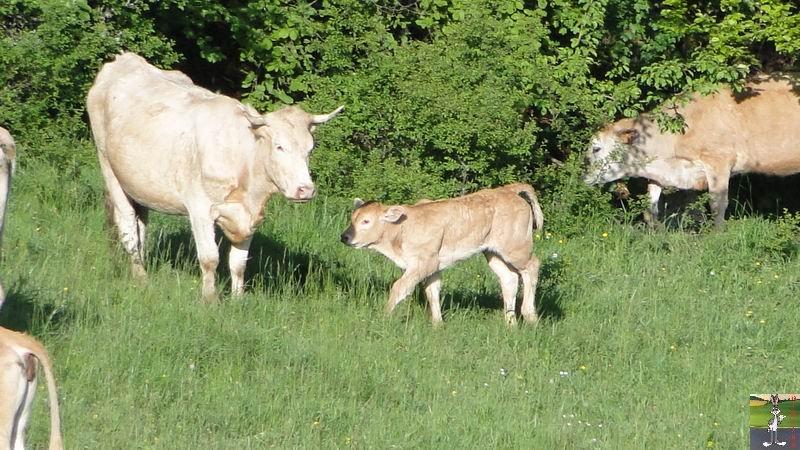 2012-05-25 Les Voisines à La Mainmorte (39) 2012-05-25_vaches_09