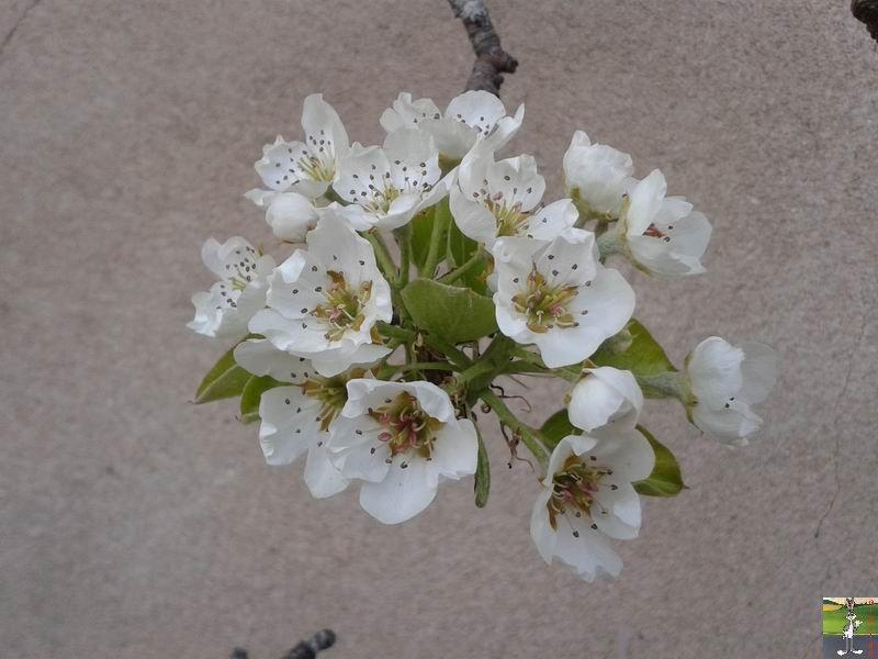 2014-04-10 : Le poirier est en fleurs à La Mainmorte (39) 2014-04-10_fleurs_01