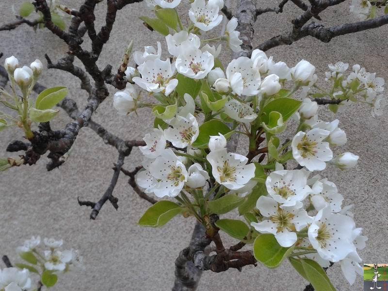 2014-04-10 : Le poirier est en fleurs à La Mainmorte (39) 2014-04-10_fleurs_02