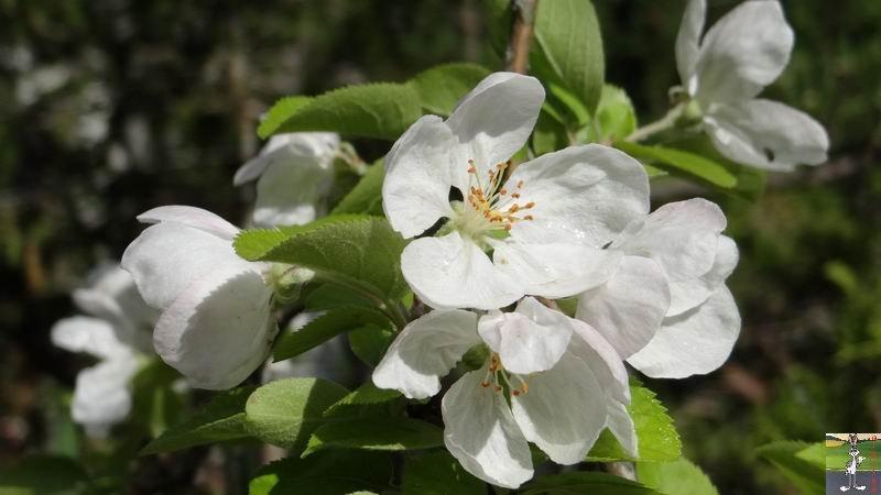 2015-05-09 : Les fleurs sont belles à La Mainmorte (39) 2015-05-09_fleurs_02