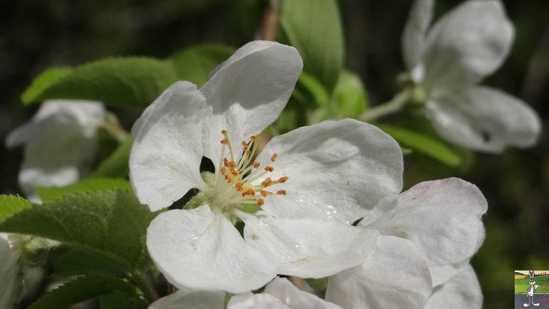 2015-05-09 : Les fleurs sont belles à La Mainmorte (39) 2015-05-09_fleurs_03