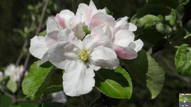 2015-05-09 : Les fleurs sont belles à La Mainmorte (39) 2015-05-09_fleurs_04